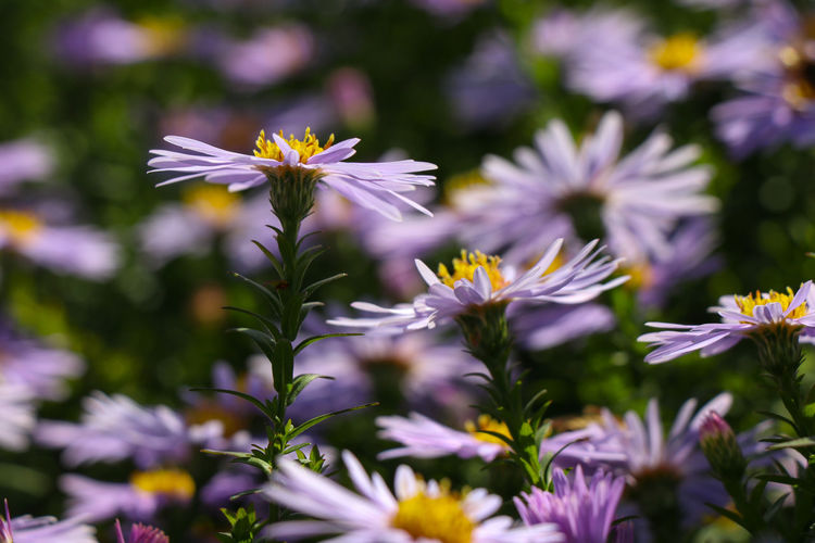 More purple flowers Flowering Plant Flower Fragility Freshness Vulnerability  Plant Beauty In Nature Growth Petal Flower Head Inflorescence Close-up Selective Focus Nature No People Day Pollen Outdoors Daisy Field Purple Springtime Decadence
