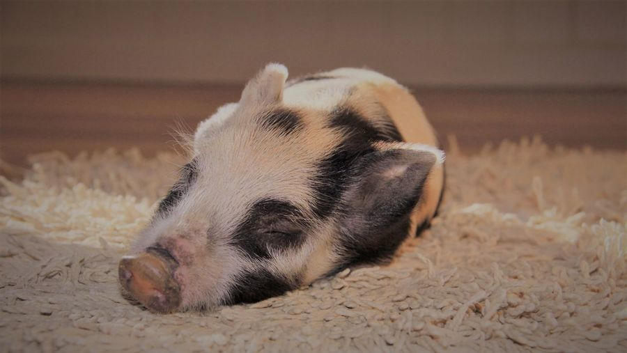 Close-up of pig sleeping on rug at home