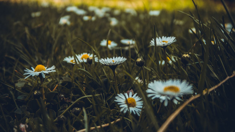 Dramatic close up shot of daisies with dark grass