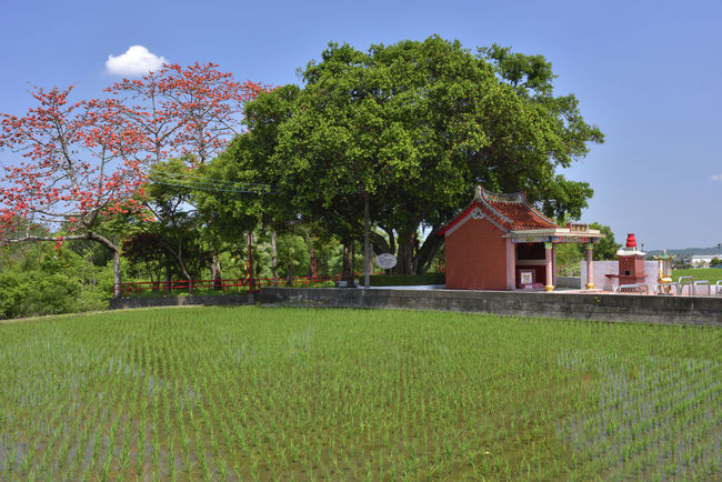 Rural farmland under the banyan tree Cotton Tree Paddy Rural Architecture Beauty In Nature Building Building Exterior Built Structure Day Field Front Or Back Yard Grass Green Color Growth House Kapok Land Landscape Nature No People Outdoors Plant Sky Temple Tree
