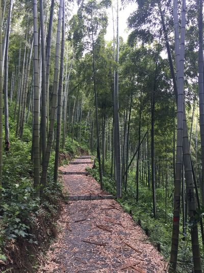 Bamboo - Plant Bamboo Forest Bamboo Grove Beauty In Nature China Day Forest Green Color Growth Hiking Moganshan Nature No People Outdoors Scenics The Way Forward Tranquil Scene Tranquility Tree Tree Trunk Wanderlust Woods