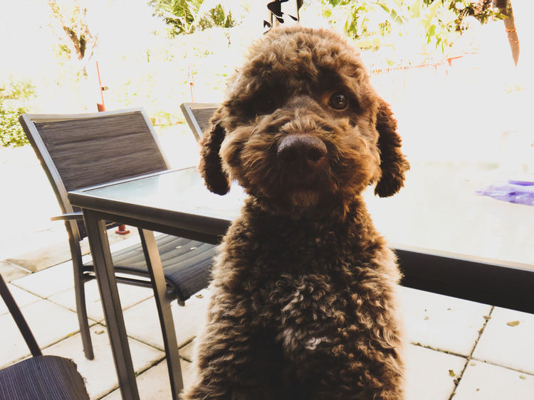Animal Themes Day Dog Domestic Animals Lagotto Romagnolo Looking At Camera Mammal No People One Animal Outdoors Pets Portrait Pet Portraits