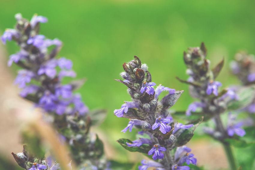 Animal Animal Themes Animal Wildlife Animals In The Wild Beauty In Nature Bee Close-up Flower Flower Head Flowering Plant Fragility Freshness Growth Insect Invertebrate Lavender No People One Animal Petal Plant Pollination Purple Vulnerability