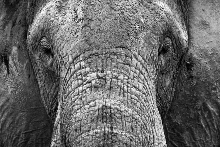 Extreme close-up of elephant face showing all the details of the skin in frontal position. Animal Body Part Animal Eye Animal Face Animal Head  Animal Photography Animals In The Wild Black & White Close-up Ears Elephant Face Focus On Foreground Front View Kenya Key Mammal Nature Nature Photography Nature's Diversities Nature_collection No People Nose Wildlife & Nature Wildlife Photography The Great Outdoors - 2016 EyeEm Awards