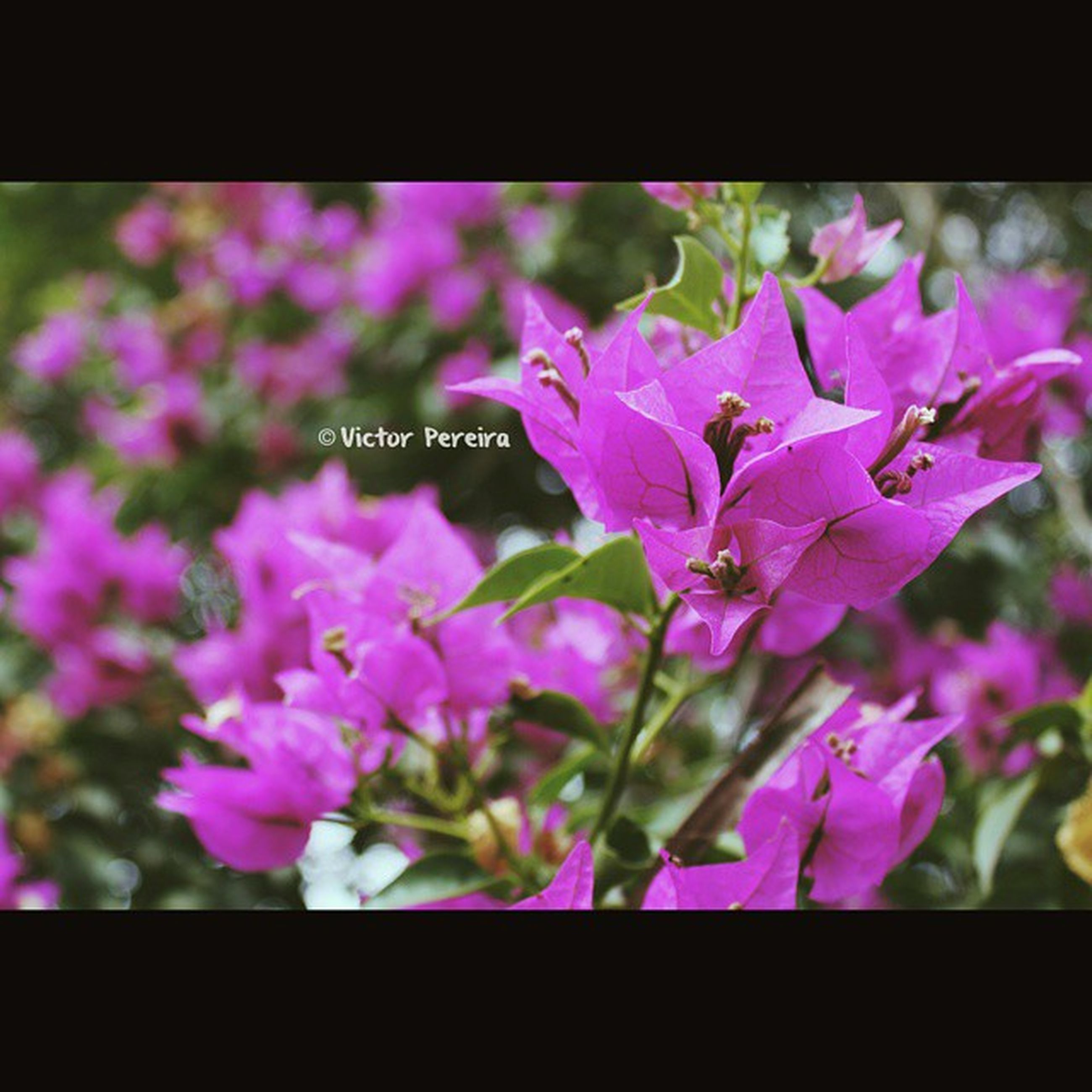 flower, transfer print, freshness, fragility, auto post production filter, focus on foreground, growth, petal, beauty in nature, pink color, close-up, purple, flower head, nature, blooming, plant, selective focus, day, in bloom, outdoors