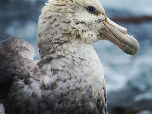 Southern Giant Petrel close-up EyeEmNewHere Sub Antarctics Macquarie Island Southern Giant Petrel Petrel Fulmar Bird Animal Wildlife Animals In The Wild One Animal Animal Body Part Beak Close-up Feather  Animal Themes Outdoors Nature No People