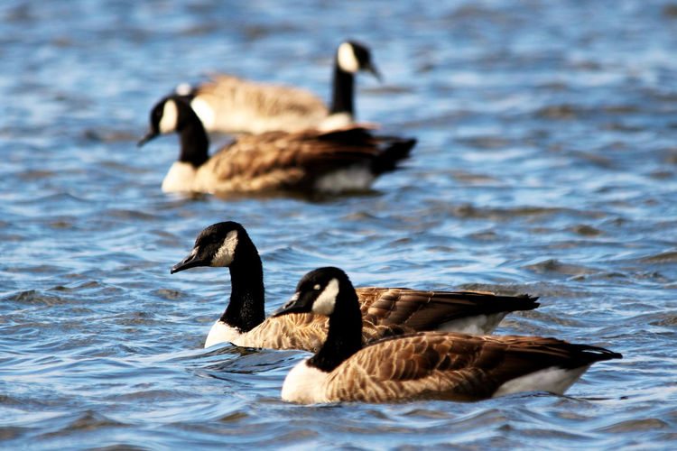 Canadian geese relaxing in the blue water of Quebec Animal Animal Family Animal Themes Animal Wildlife Animals In The Wild Beauty In Nature Bird Canada Goose Day Goose Gosling Group Of Animals Lake Nature No People Outdoors Swimming Vertebrate Water Water Bird Waterfront
