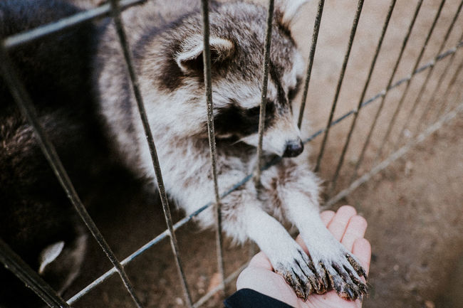 Bear Captivity Close-up Connection Feeding  Feeding Animals Feline Fence Grabbing High Angle View Outdoors Racoon Touching