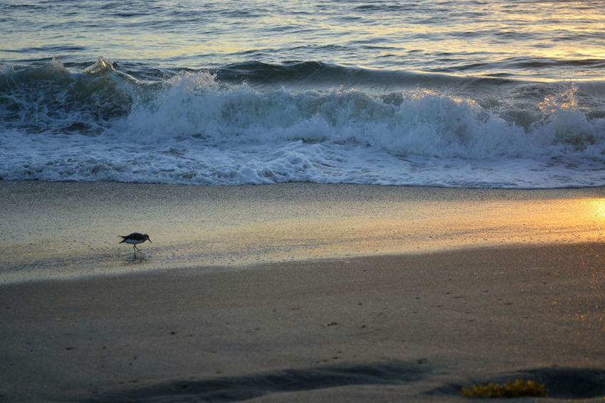 All Alone At The Beach Foraging Ocean Wave Sebastian, Fl Shore Bird Sunrise Waves And Shore