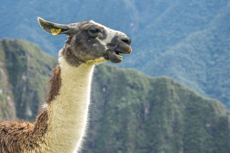 Side view of llama sitting on field against mountains