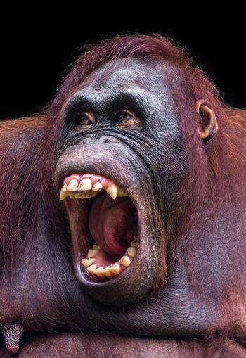 The angry borneo orangutan