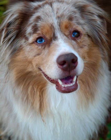 Jack Portrait Street Photography Dog Aussie Aussiephotos Aussie Shepherd