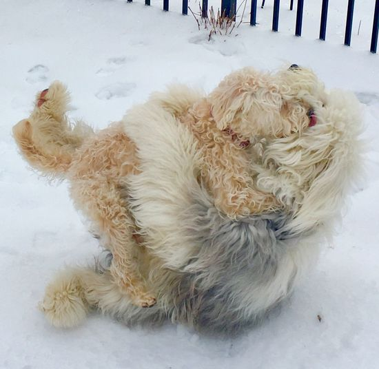 I Just Love You! Dog❤ Dogs Playing Together Dogs Of Winter Dogs Of EyeEm Cold Temperature Snow Winter Canine Dog Domestic Animals Domestic Pets Animal Themes High Angle View