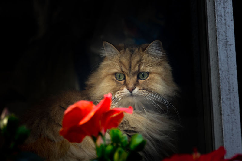 a cat with a flower inside the window Animal Themes Cat Home Indoors  Mammal One Animal Pets Portrait Softness