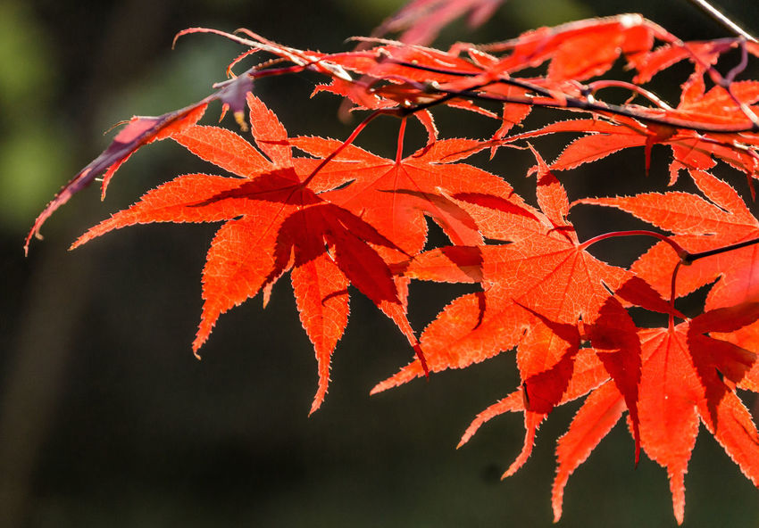 Japanese fan maple (acer sp.) against the setting autumn sun, strong colour and light effects Acer Japonicum Bright Colourful Red Sunlight Vivid Acer Acer Palmatum Acer Shirasawanum Autumn Bush Close-up Closeup Focus On Foreground Foliage Fragility Golden Hour Growth Leaf Maple Maple Leaf Orange Color Outdoors Sunlight Texture