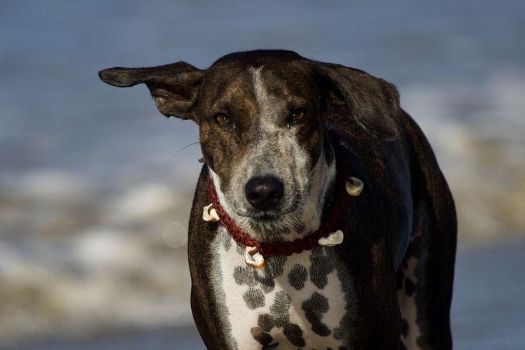 One Animal Dog Canine Pets Domestic Domestic Animals Mammal Looking At Camera Portrait Vertebrate Focus On Foreground Day No People Close-up Nature Looking Pet Collar