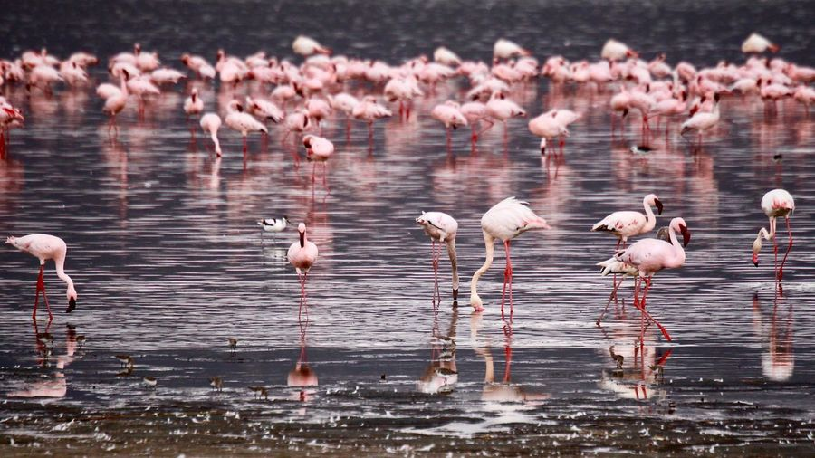 Flock of flamingo birds in lake