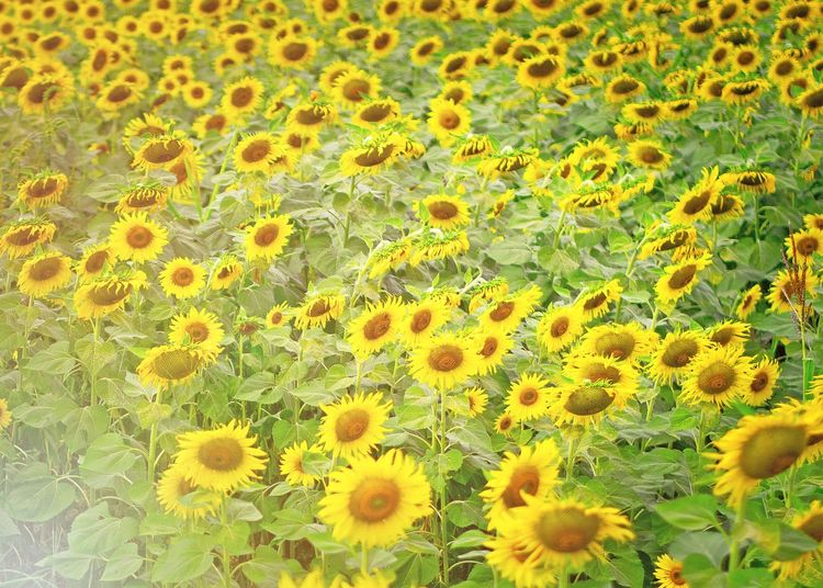 Sunflower Yellow Growth Nature Green Color No People Fragility Flower Beauty In Nature Day Outdoors Backgrounds Close-up Flower Head