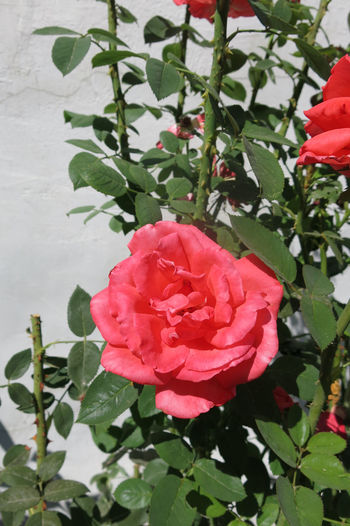 September Beauty In Nature Blooming Close-up Day Flower Flower Head Fragility Freshness Green Color Growth Leaf Nature No People Outdoors Petal Pink Color Plant Red Rose - Flower Rose Tree Rosé W-armenien Wild Rose