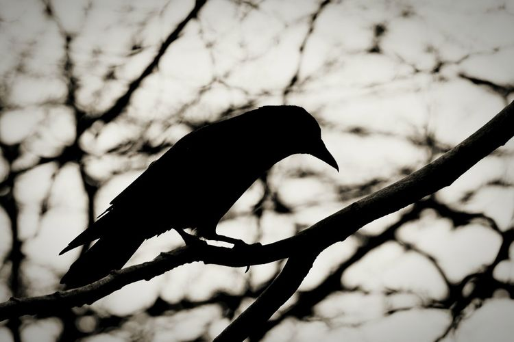 Bnw_collection Bnw Bnw_life Blackandwhite Black And White Black & White Crow Blackbird Rubbishatbirdnames Silhouette Animal Birds Bird Photography EyeEm Best Shots EyeEm Nature Lover Nature Nature_collection Nature Photography Tree Branch Monochrome Check This Out Showcase April
