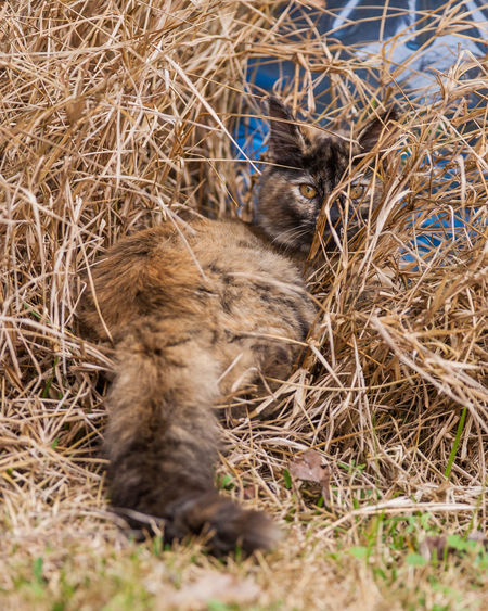 Animal Themes Animal Wildlife Animals In The Wild Calico Calico Cat Camo Camo Animals Camoflage Camouflage Cat Cat Lovers Cats Cats Of EyeEm Cats 🐱 Close-up Day Domestic Animals Hidden Hiding Hiding Out Mammal Nature No People One Animal Outdoors