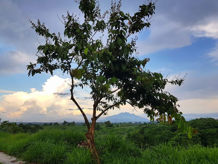 Using the tree as a framing for Philippines' Mt. Makiling in Laguna. Tree Cloud - Sky Nature Landscape Sky Outdoors Green Color Beauty In Nature Tranquility Blue Day No People Tree Trunk Sunset Scenics Leaf Mountain Framing
