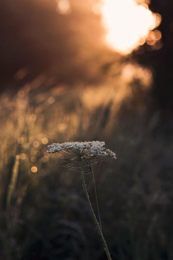 Close-up of wilted plant on field during sunset