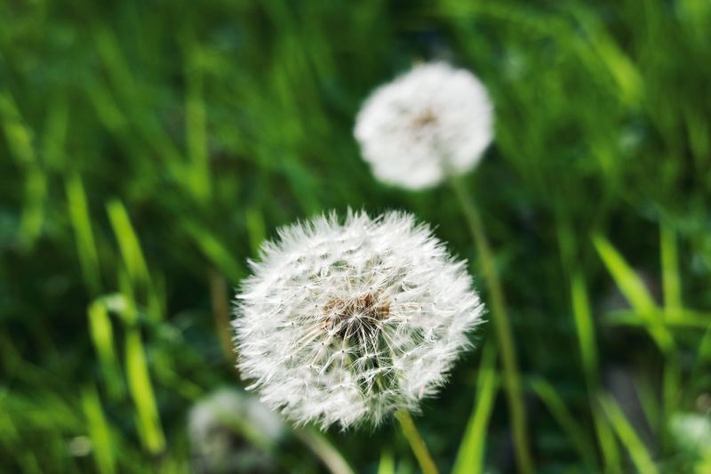 Plant Freshness Dandelion Flower Flowering Plant Beauty In Nature Fragility Green Color Vulnerability  White Color Focus On Foreground Flower Head No People Inflorescence Growth Nature Softness Close-up Day Outdoors