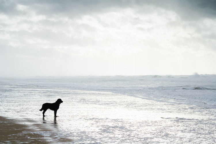 Animal Animal Themes Beach Black Dog Copy Space Day Dog Domestic Animals Flat Coated Retriever Horizon Over Water Hunting Dog Mammal Minmalism Nature One Animal Only Men Outdoors People Pets Retriever Sea Sky Water