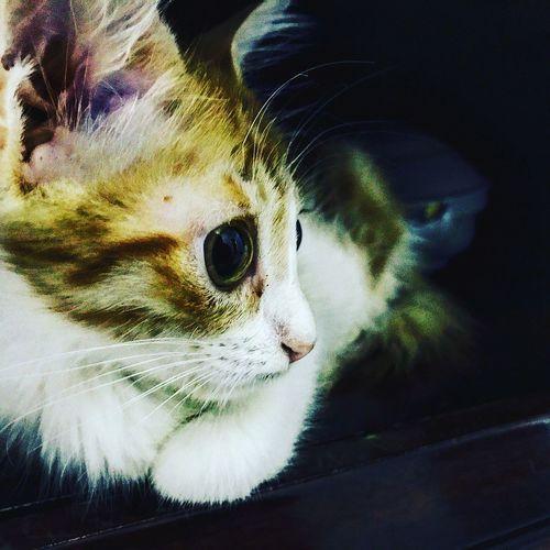 ~(♥_♥ ) ~LOU Cats 🐱 Kitty Cat Kittycat Kittyeyeballs Kittyeyes Kitty Whiskers Whiskersonkittens Jellycat Eyes Are Soul Reflection Eyes On YOU!! EyesNeverLie Photooftheday EyeEm Best Shots !!! EyeEmNewHere