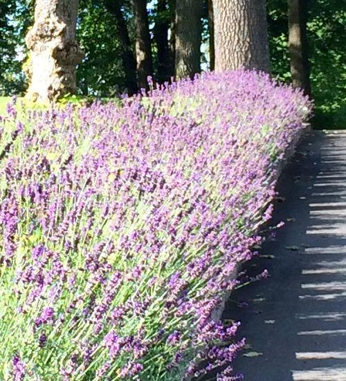 Hanging Out Flower Lavendel Sommer