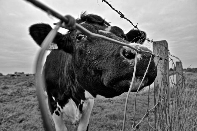 Cows!!! Ilovecows Curiosity Monochrome Animal Photography My Point Of View