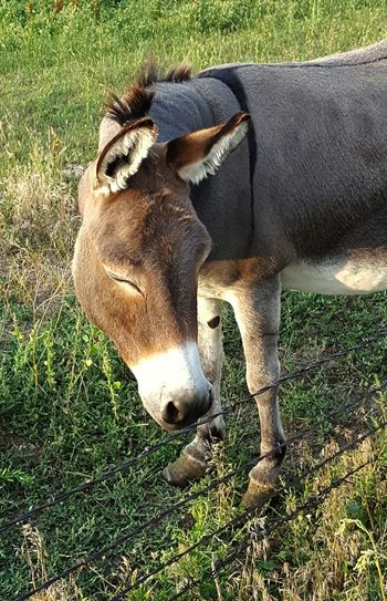 Resting eyes Donkey Came To Fence My Actions Slow & Easy Talked To It Calmly Photo Taken Late Evening Hot Summer Northern Part Of Town United States