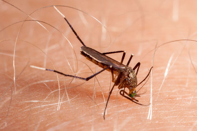 Bitting Dengue  Itch Pain Plague Aedes Animal Themes Animals In The Wild Blood Close-up Cullins Diptera Drinking Health Illness Infection Insect Medical Mosquito One Animal Skin Sting Tropical Virus Zika