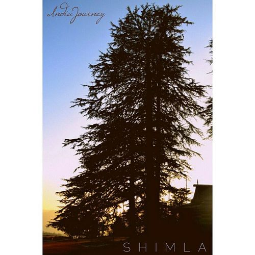 S H I M L A Shimla Hills Queen Trees Eco IndiaJourney Incredibleindia Incrediblehimachal India Indiapictures Indiaphotos Shadow Queenofhills