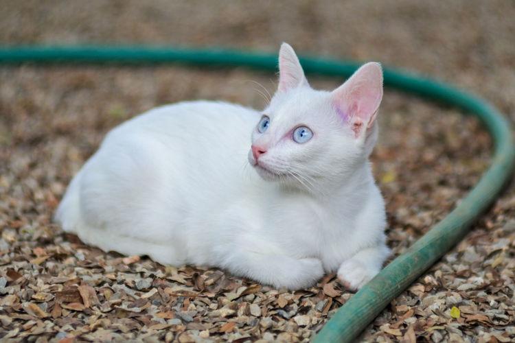 White cat lying on land