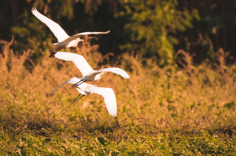 Cattle egrets flying over the grassland Wildlife Migratory Birds Cattle Egrets Animalkingdom Outdoors Wildlifephotography Wildlife & Nature EyeEm Selects Bird Of Prey Bird Spread Wings Vulture Flying Feather  Animal Wing Flapping Beak Animals Hunting Ibis Freshwater Bird Animal Neck
