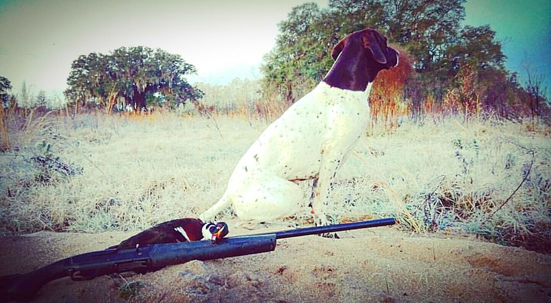 Florida Life Simplistic Beauty Sexyboy The Great Outdoors - 2015 EyeEm Awards The Best Friend Pookie  Dogslife German Shorthaired Pointer Dogsofeyeem Gsp Birddog Pointer Nature Photography Nature_collection Wood Duck  Drake  Browning Maxus Shotgun Dog Browning Maxus