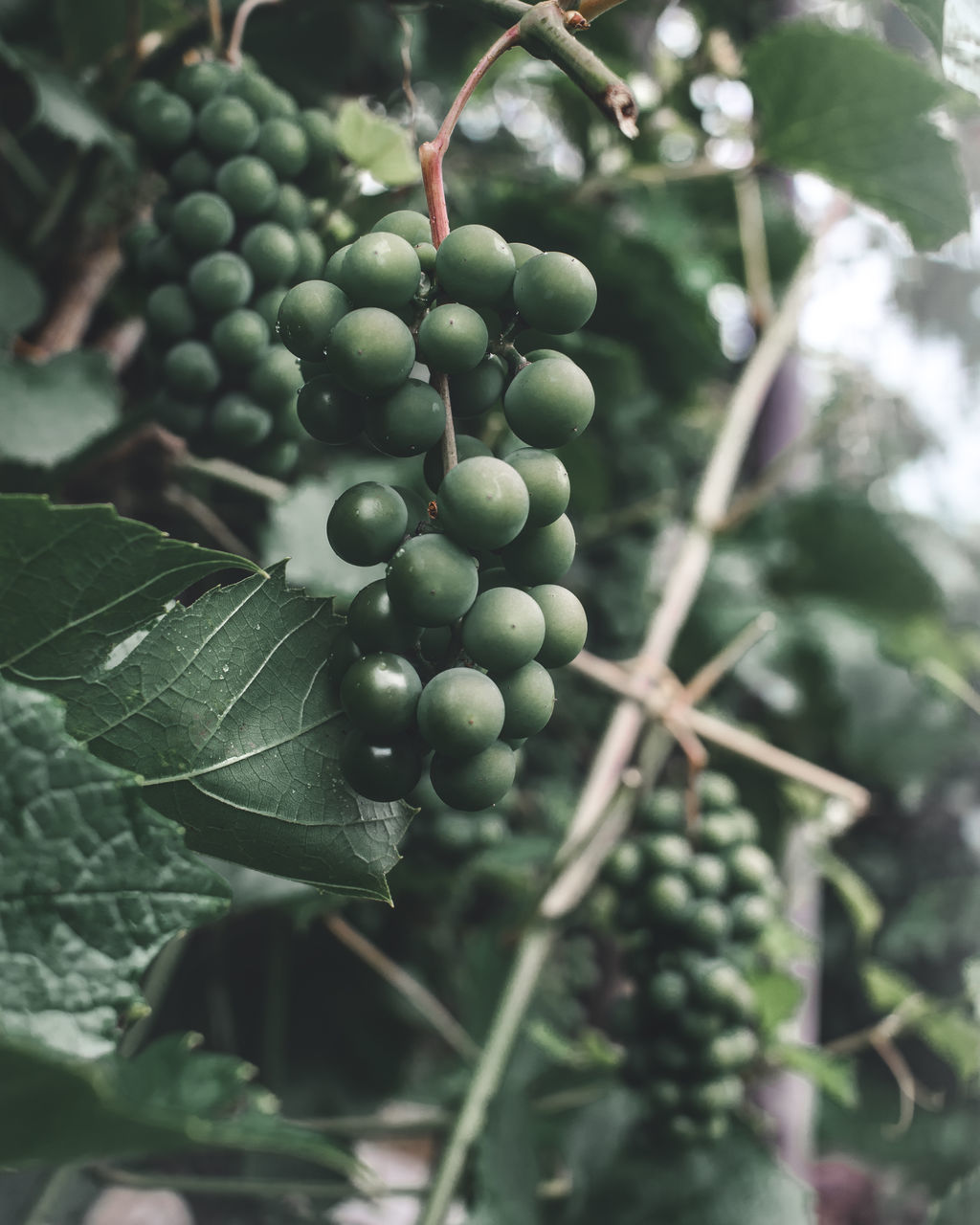 healthy eating, growth, food and drink, fruit, food, plant, freshness, green color, plant part, leaf, close-up, tree, nature, agriculture, day, focus on foreground, no people, wellbeing, beauty in nature, plant stem, outdoors, ripe, winemaking