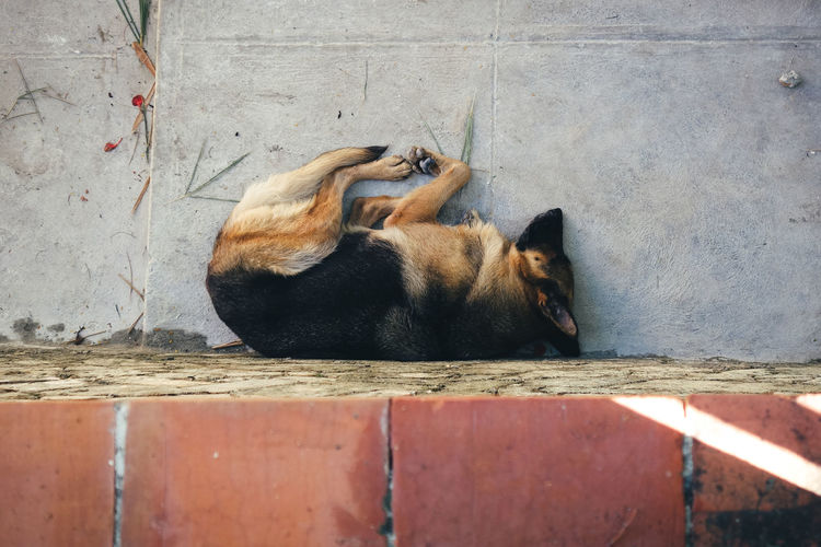 Directly Above Shot Of German Shepherd Sleeping By Wall