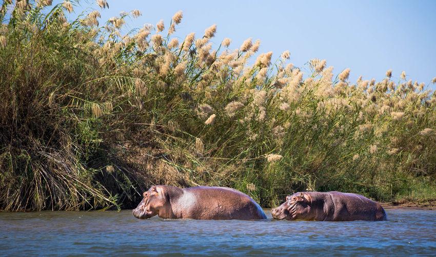 Hippopotamus In River Against Sky
