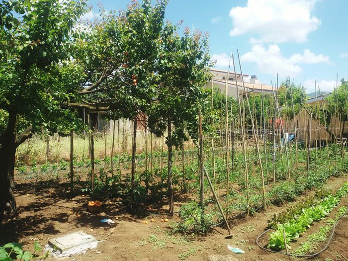 Tomato Plant Agriculture Apricot Tree Sustainable Living No People Agriculcraft Agricultural Building Agriculture Photography Healthy Lifestyle Freshness
