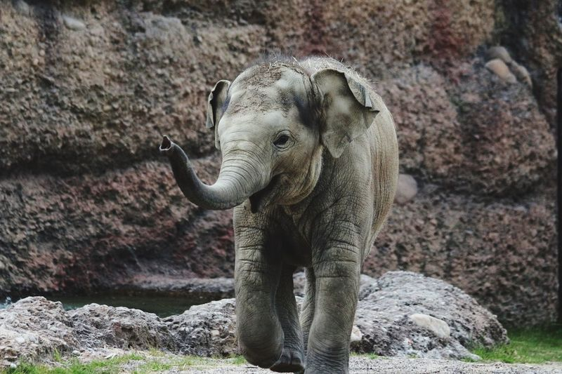 Young Elephant Against Stone Wall At Zurich Zoological Garden