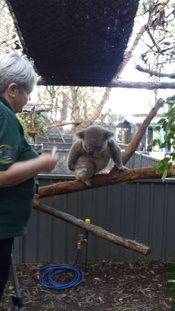 Australia Cute East Coast Fluffy Koala Koala Sanctuary Port Macquarie