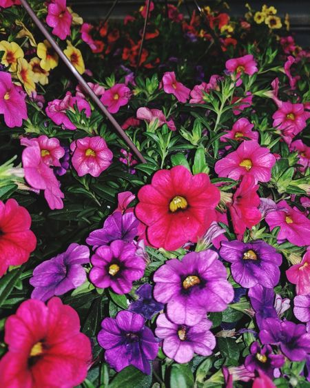 Hanging Baskets Of Flowers Flower Beauty In Nature Plant No People Flower Head Blooming Close-up Visual Feast Green Color Leaf Springtime Backgrounds Choices Choices Pink Purple Red Yellow Orange Green Multiple Colors Check This Out Rainbow Of Colors