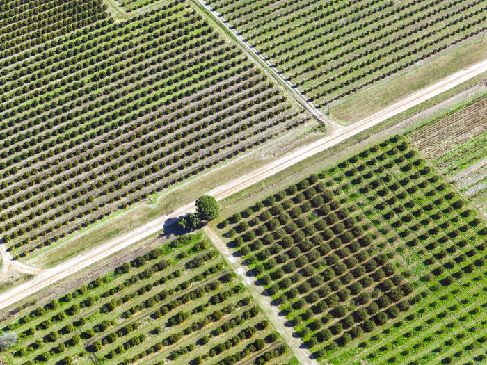 Citrus field aerial view