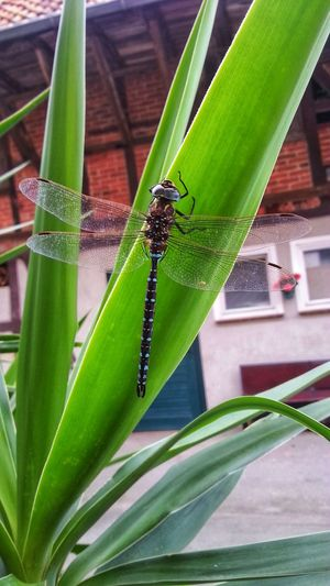 Dragonfly Green Color Animal Wildlife Insect Animals In The Wild One Animal Animal Themes Leaf Nature Plant Day Close-up No People Outdoors Growth Beauty In Nature