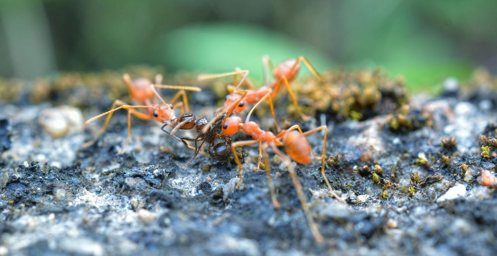 Animals In The Wild Animal Wildlife Insect Animal Themes One Animal Ant Nature Selective Focus No People Colony Close-up Day Outdoors Full Length Ants Ants At Work Antslife Carnivorous Feast Macro Macro Nature Small World Wildlife Animals In The Wild Macro_collection The Week On EyeEm