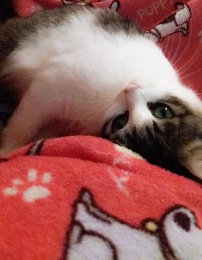 Minha Luly! ♥ Mycat❤ Cat♡ LULY Pet Portraits
