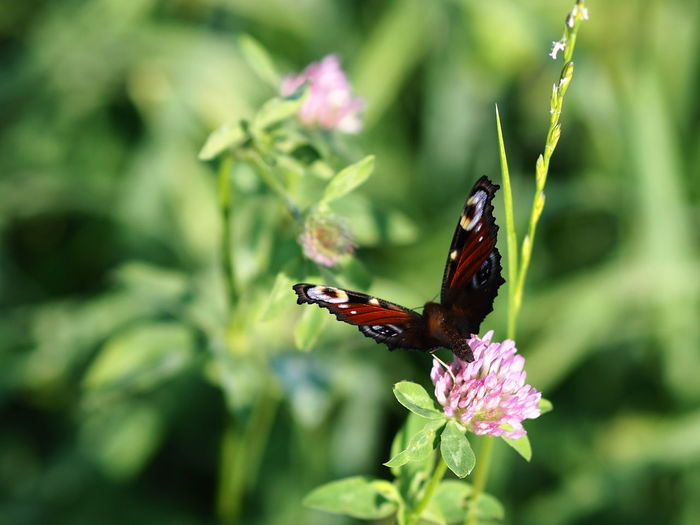 Animal Animal Themes Animal Wildlife Animal Wing Animals In The Wild Beauty In Nature Butterfly Butterfly - Insect Day Flower Flower Head Flowering Plant Fragility Green Color Growth Insect Invertebrate Nature No People One Animal Outdoors Plant Pollination Purple Vulnerability